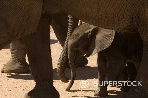 Elephant calf, Amboseli National Park, Kenya, East Africa, Africa : Stock Photo
