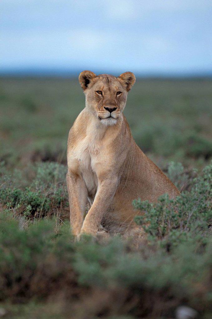 Stock Photo: 1890-50402 Lioness Panthera leo, Etosha National Park, Namibia, Africa