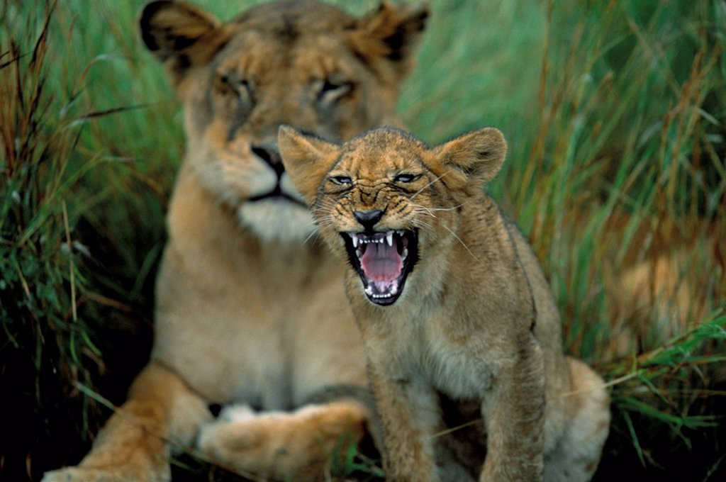Stock Photo: 1890-50448 Two to three month old lion cub with lioness Panthera leo, Kruger National Park, South Africa, Africa