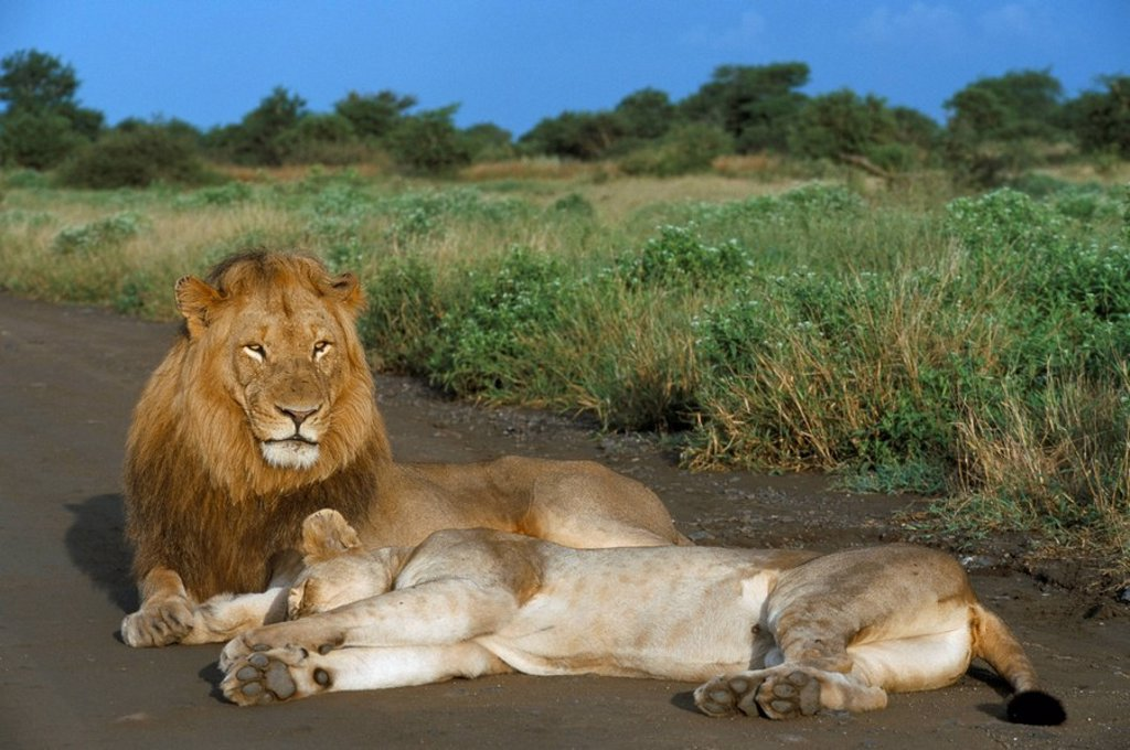 Stock Photo: 1890-50450 Lion and lioness Panthera leo, Kruger National Park, South Africa, Africa