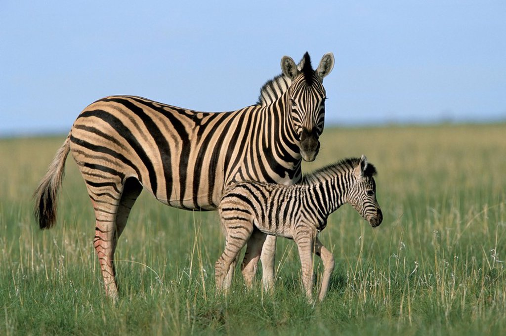 Stock Photo: 1890-50463 Burchell´s Plains zebra with newborn foal Equus burchelli, Etosha National Park, Namibia, Africa
