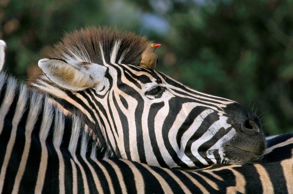 Redbilled oxpecker Buphagus erythrorhynchus on Burchell´s zebra Equus burchelli, Kruger National Park, South Africa, Africa : Stock Photo