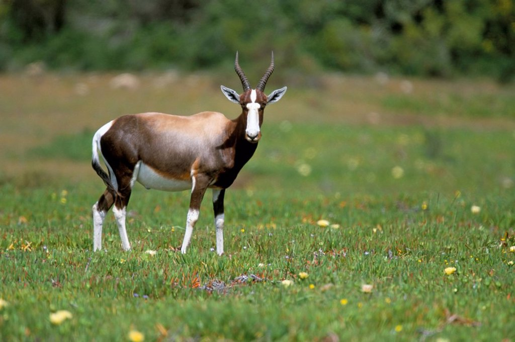 Bontebok Damaliscus dorcas dorcas, De Hoop Reserve, South Africa, Africa : Stock Photo