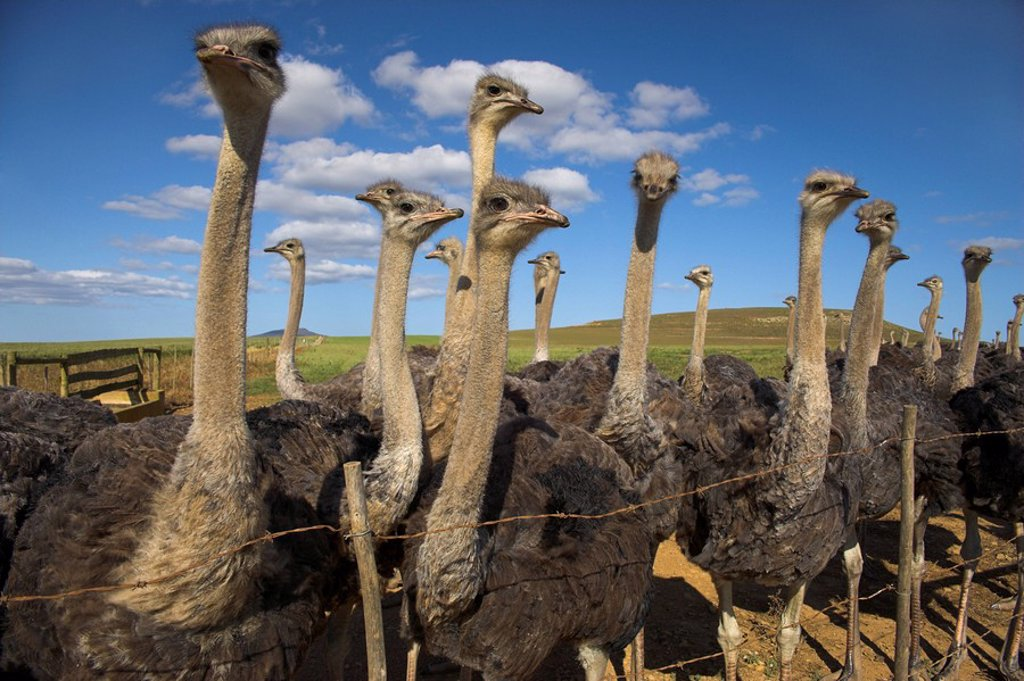 Ostriches, Struthio camelus, on ostrich farm, Western Cape, South Africa, Africa : Stock Photo