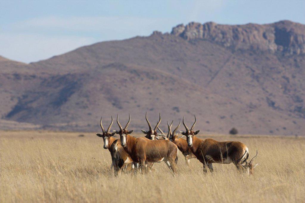 Stock Photo: 1890-50563 Blesbok, Damaliscus dorcas phillipsi, Mountain Zebra National Park, South Africa, Africa