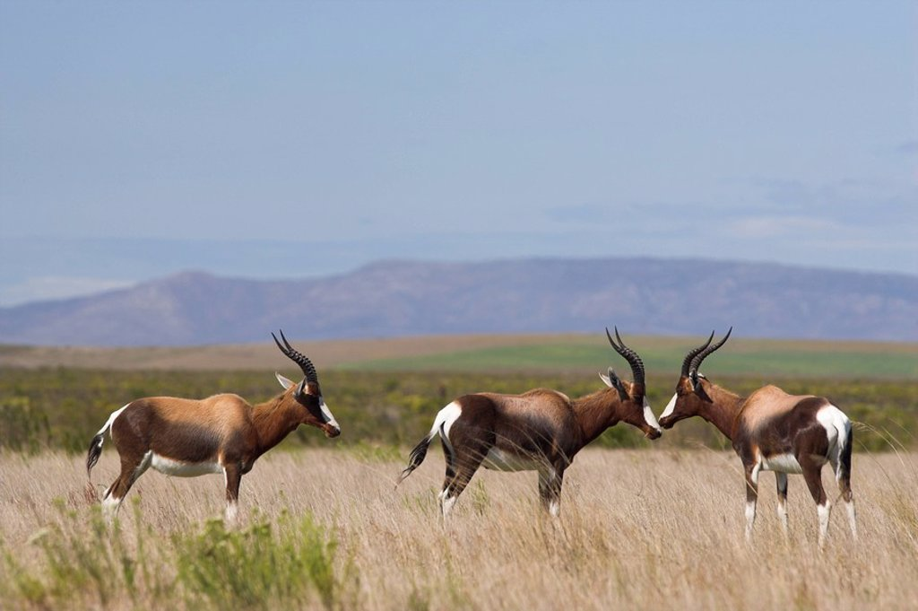 Bontebok, Damaliscus dorcas, Bontebok National Park, South Africa, Africa : Stock Photo