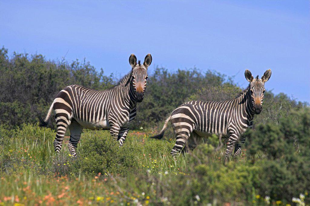 Cape mountain zebra, Equus zebra zebra, in spring flowers in Bushman´s Kloof Reserve, Cedarberg, Western Cape, South Africa, Africa : Stock Photo