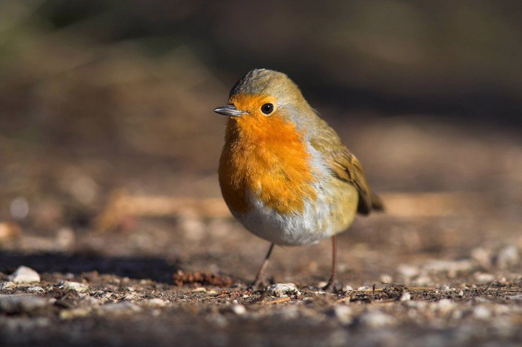 Stock Photo: 1890-50620 Robin, Erithacus rubecula, on ground at Leighton Moss RSPB nature reserve, Silverdale, Lancashire, England, United Kingdom, Europe