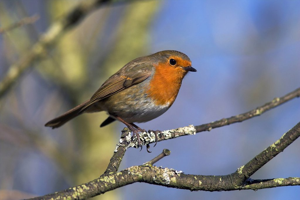 Stock Photo: 1890-50621 Robin, Erithacus rubecula, perched on a tree branch at Leighton Moss RSPB nature reserve, Silverdale, Lancashire, England, United Kingdom, Europe