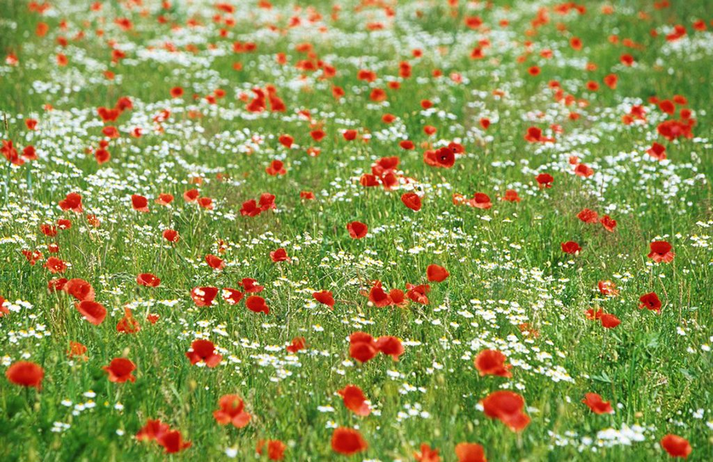 Poppy, Papaver rhoeas, Bielefeld, Germany, Europe : Stock Photo