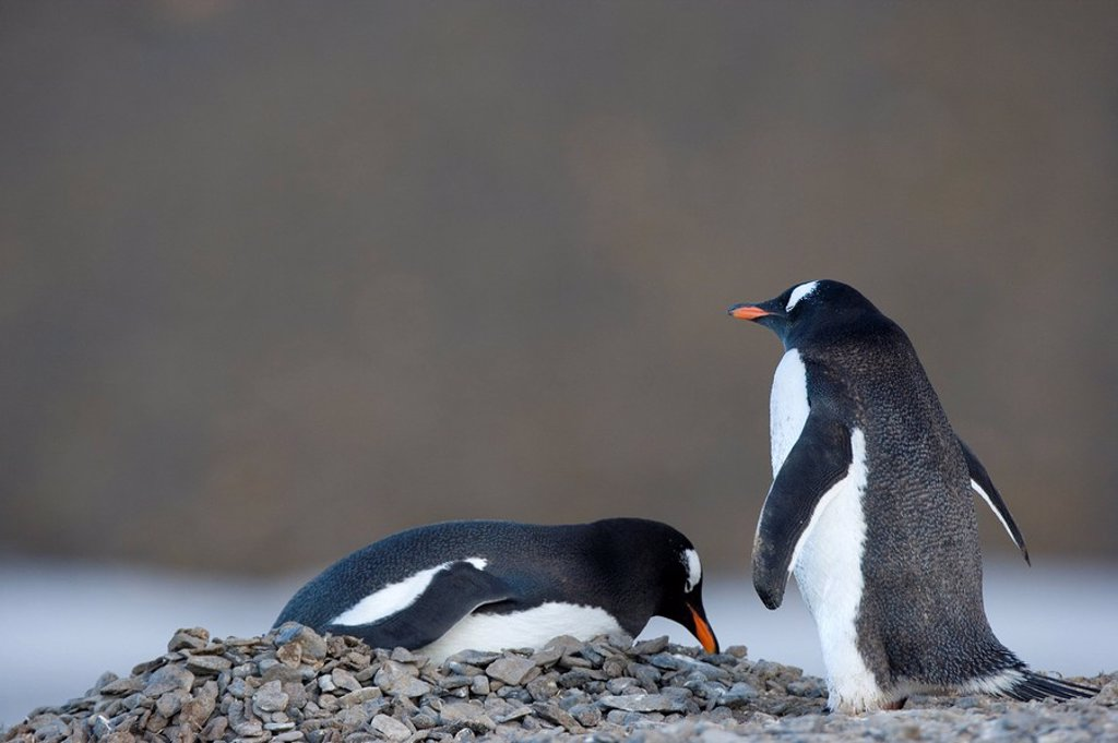 Stock Photo: 1890-51814 Gentoo penguins Pygoscelis papua, Browns Bluff, Drake Passage, Weddell Sea, Antarctic Peninsula, Antarctica, Polar Regions