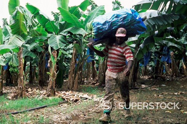 Worker at a banana plantation near Le Francois, Martinique, Lesser Antilles, West Indies, Caribbean, Central America : Stock Photo