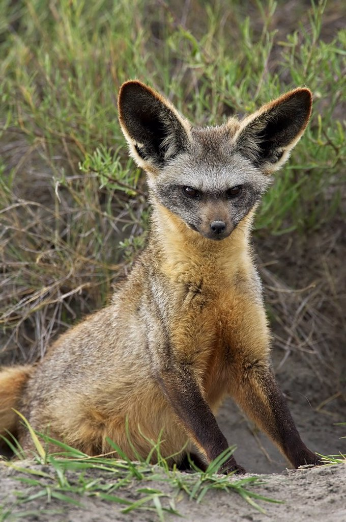 Stock Photo: 1890-54115 Bat_eared fox Otocyon megalotis sitting at entrance to den, Serengeti National Park, Tanzania, East Africa, Africa