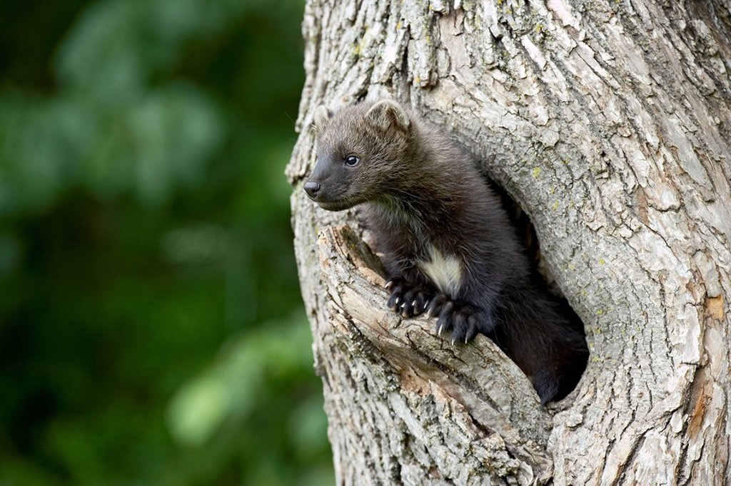 Captive baby fisher Martes pennanti in a tree, Sandstone, Minnesota, United States of America, North America : Stock Photo