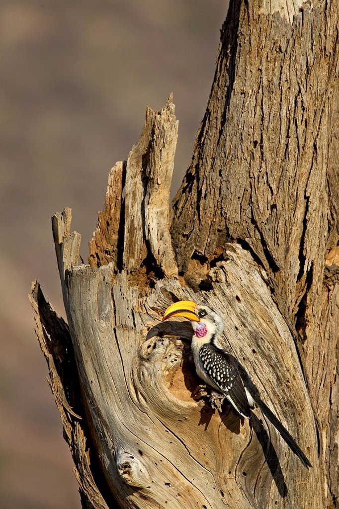 Stock Photo: 1890-54387 Eastern yellow_billed hornbill Tockus flavirostris at its nest, Samburu National Reserve, Kenya, East Africa, Africa