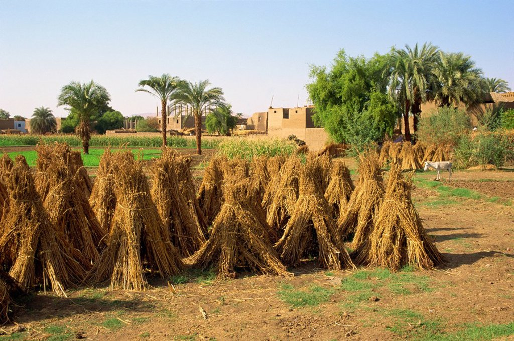 Stock Photo: 1890-5526 Sheaves of grain after harvest on farm at Luxor, Egypt, North Africa, Africa