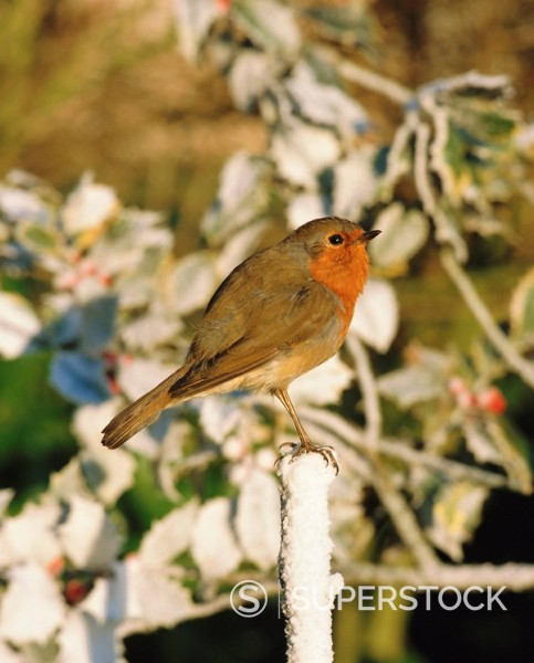 Close_up of a robin Erithacus rubecula perching on a post : Stock Photo