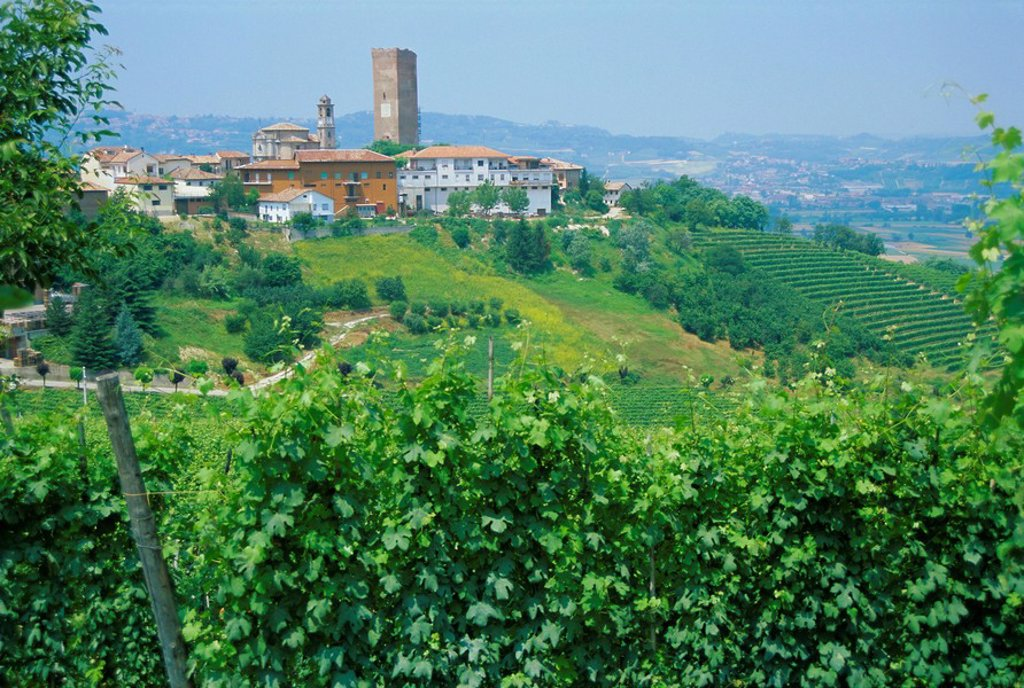 Vines in vineyards around Barbaresco, the Langhe, Piemonte Piedmont, Italy, Europe : Stock Photo