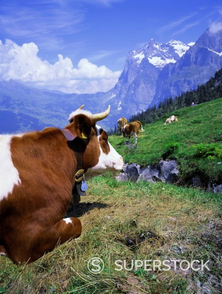 Cows at Alpiglen, Grindelwald, Bernese Oberland, Swiss Alps, Switzerland, Europe : Stock Photo