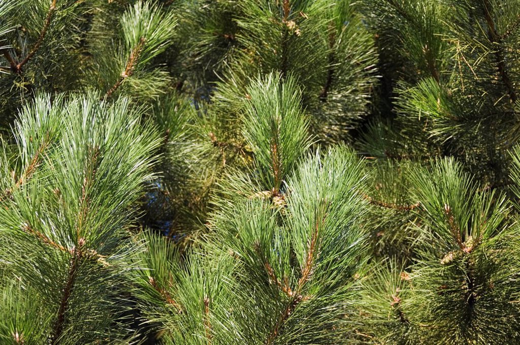 Stock Photo: 1890-68386 Close up of Scots Pine leaves or needles, Pinus sylvestris