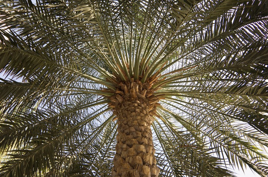 Stock Photo: 1890-68597 Palm tree