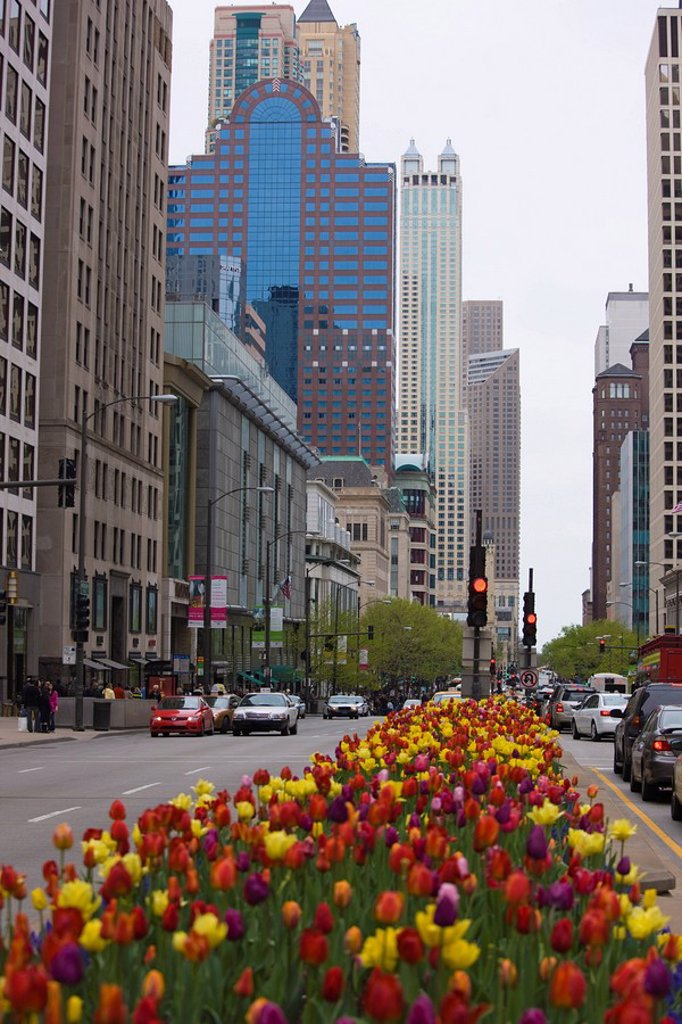Spring tulips on North Michigan Avenue, Chicago, Illinois, United States of America, North America : Stock Photo