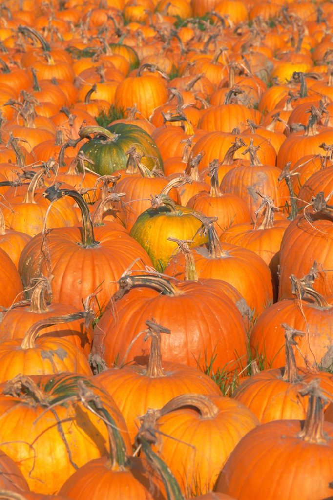 Pumpkins for sale, Vermont farm, Vermont, New England, USA, North America : Stock Photo
