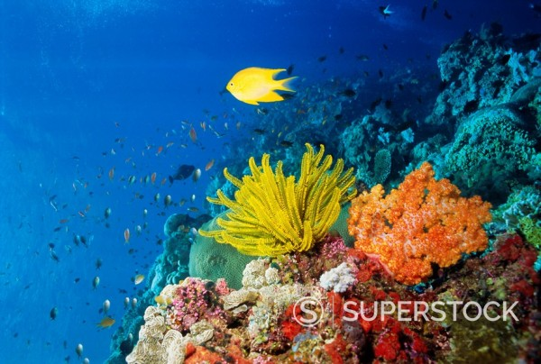 Stock Photo: 1890-69288 Colourful Crinoids and Solt Corals at Hanging Gardens, Sipadan Island, Sabah, Malaysia
