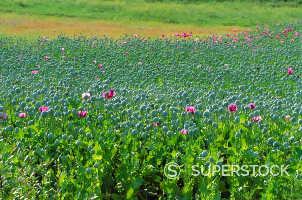 Stock Photo: 1890-69314 Opium Poppies are a legal crop for production of Morphine, Sandinski, Bulgaria