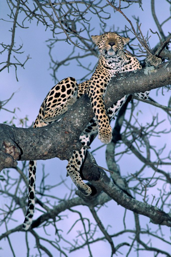 Stock Photo: 1890-6968 Leopard, Sabi Sands Reserve, South Africa, Africa