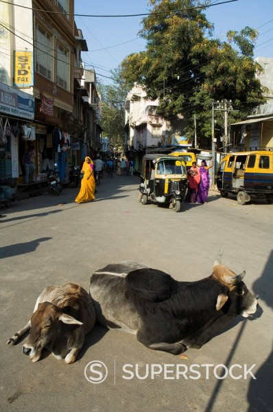 Holy cows on streets of Dungarpur, Rajasthan, India : Stock Photo