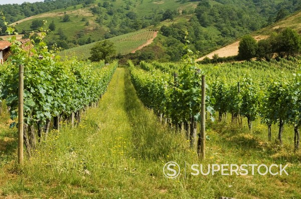 Stock Photo: 1890-71872 Vineyards in countryside near Saint Jean Pied de Port St._Jean_Pied_de_Port, Basque country, Pyrenees_Atlantiques, Aquitaine, France, Europe