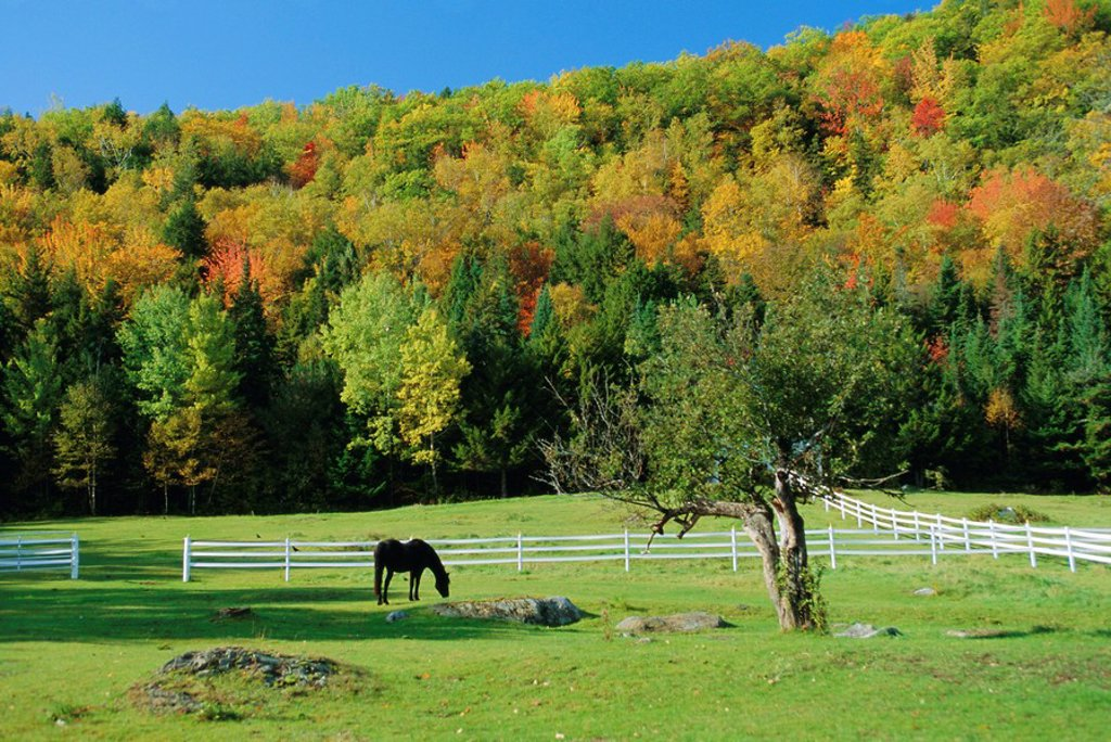 Stock Photo: 1890-73034 Horse grazing in paddock, near Jackson, New Hampshire, USA