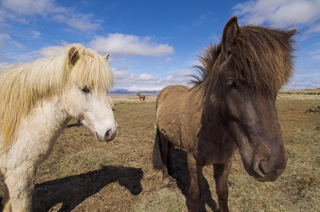 Stock Photo: 1890-73552 Close_up of Icelandic horses, West area, Iceland, Polar Regions