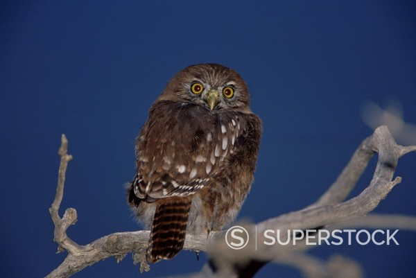 Stock Photo: 1890-75118 An austral pygmy owl Glaucidium nanum sitting on a tree, Torres del Paine National Park, Patagonia, Chile, South America