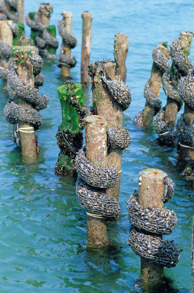 Stock Photo: 1890-75228 Mussel farming, south coast of the Ile de Noirmoutier, Island of Noirmoutier, Vendee, France