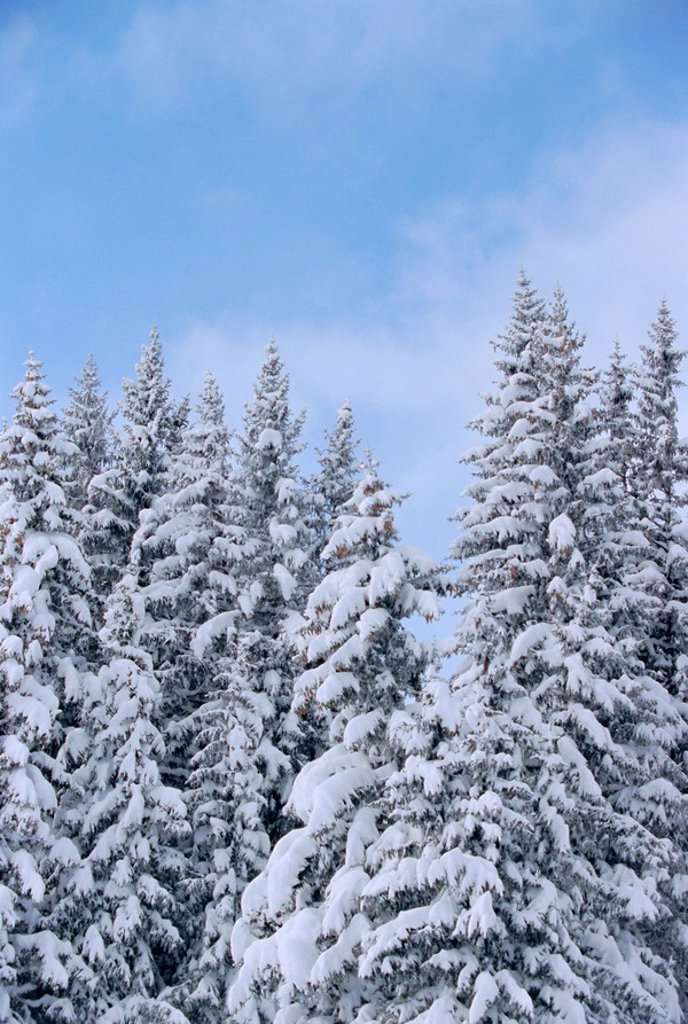 Stock Photo: 1890-76428 Snow covered trees in winter in the French Alps, Rhone_Alpes, France