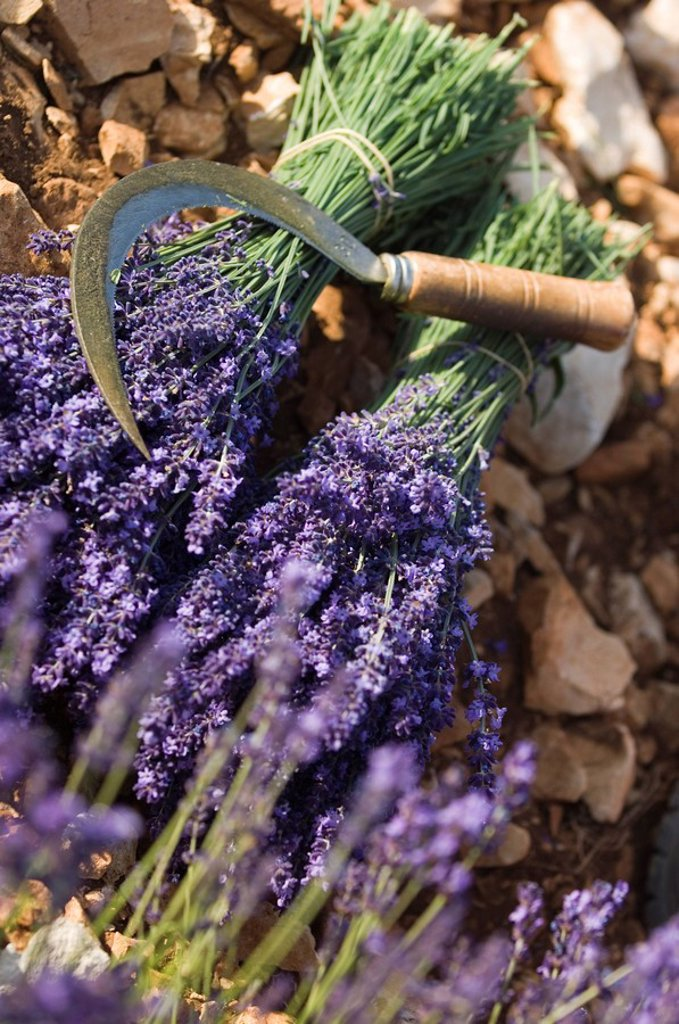 Stock Photo: 1890-77248 Lavender Knife, Luberon, France