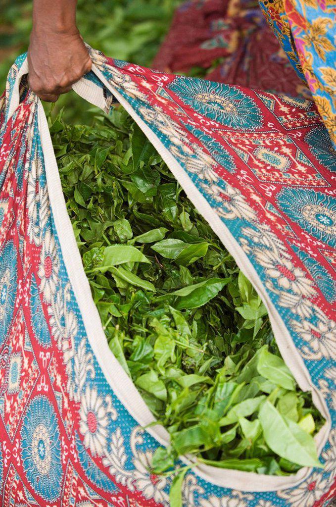 Bag of Tea Leaves, Kerala, India : Stock Photo
