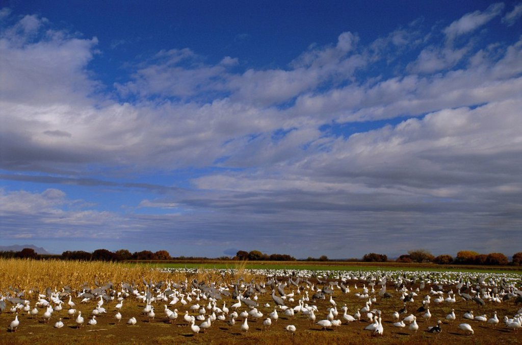 Snow geese in winter, Bosque del Apache, New Mexico, USA, North America : Stock Photo