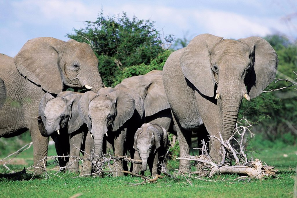 Stock Photo: 1890-81059 African elephants, Loxodonta africana, maternal group with baby, Etosha National Park, Namibia, Africa