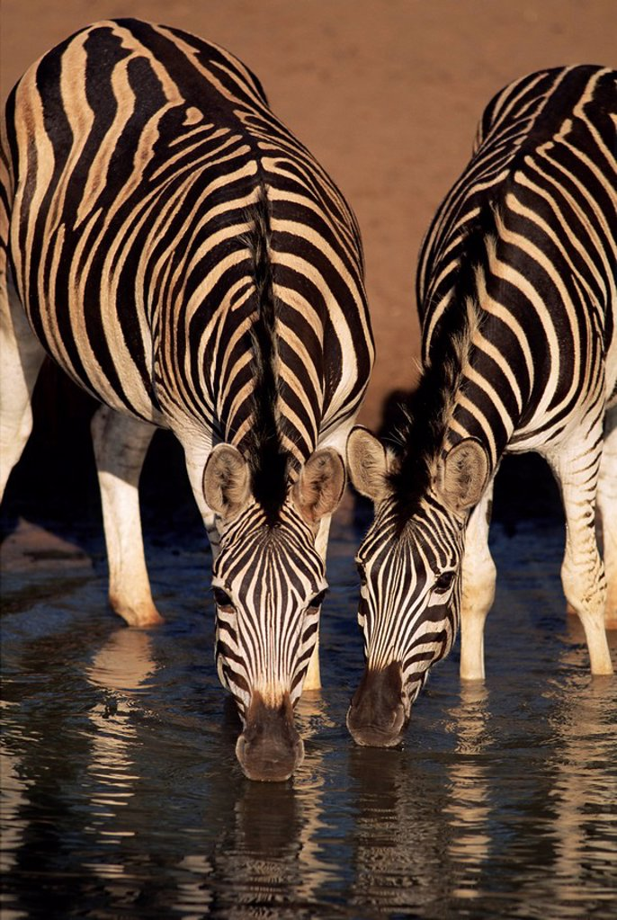 Stock Photo: 1890-81079 Two Burchell´s zebra Equus burchelli drinking, Mkhuze Game Reserve, South Africa, Africa