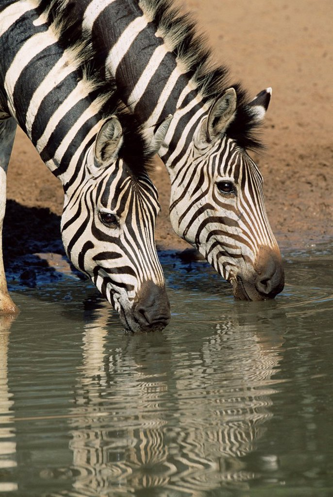 Two Burchell´s zebra, Equus burchelli, drinking, Mkhuze Game Reserve, South Africa : Stock Photo