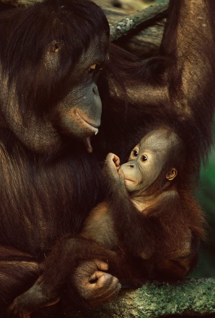 Stock Photo: 1890-81106 Orang utan mother and baby, Pongo pygamaeus, in captivity, Singapore Zoo, Singapore, Southeast Asia, Asia