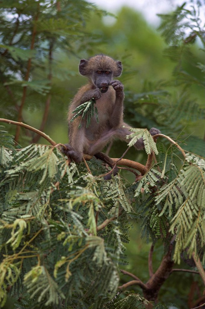 Stock Photo: 1890-81165 Young chacma baboon Papio cynocephalus ursinus playing in tree, Kruger National Park, Mpumalanga, South Africa, Africa