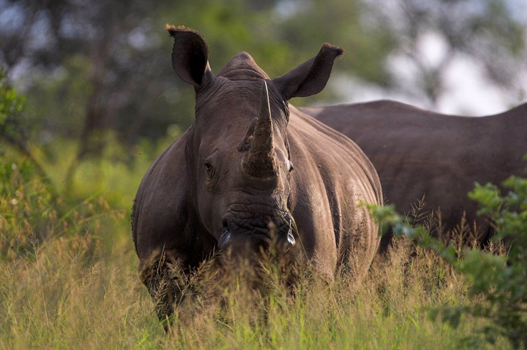 White rhino Ceratotherium simum, Kruger National Park, South Africa, Africa : Stock Photo