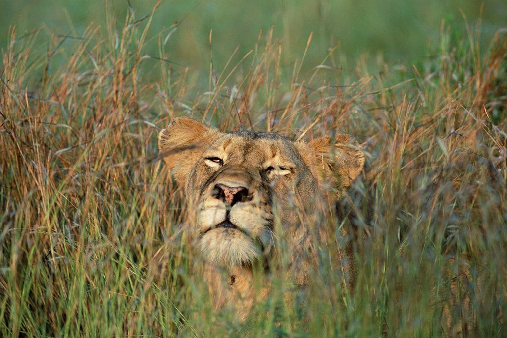 Stock Photo: 1890-81209 Lioness, Panthera leo, in the grass, Kruger National Park, South Africa, Africa