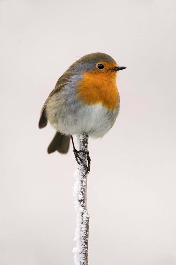 Robin Erithacus rubecula on frosty twig in winter, Northumberland, England, United Kingdom, Europe : Stock Photo