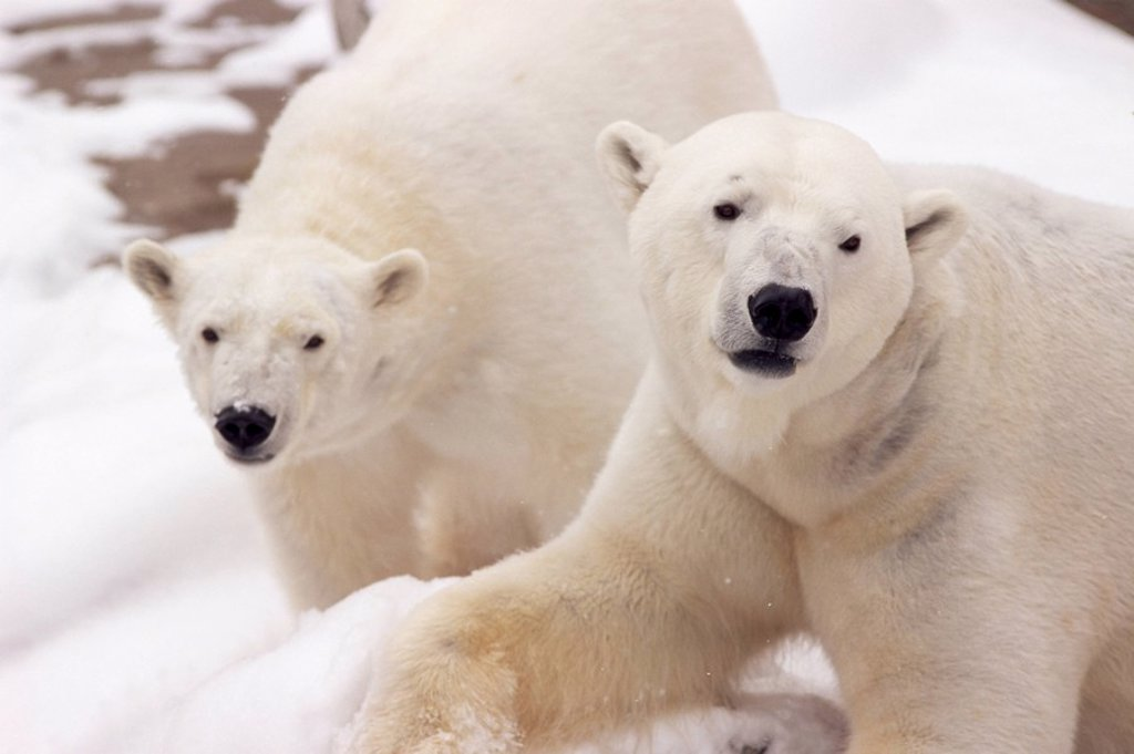 Close_up of two polar bears : Stock Photo