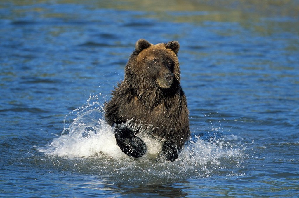 Stock Photo: 1890-81735 Brown Bear, Ursus arctos, Lake Clark National Park, Alaska, USA